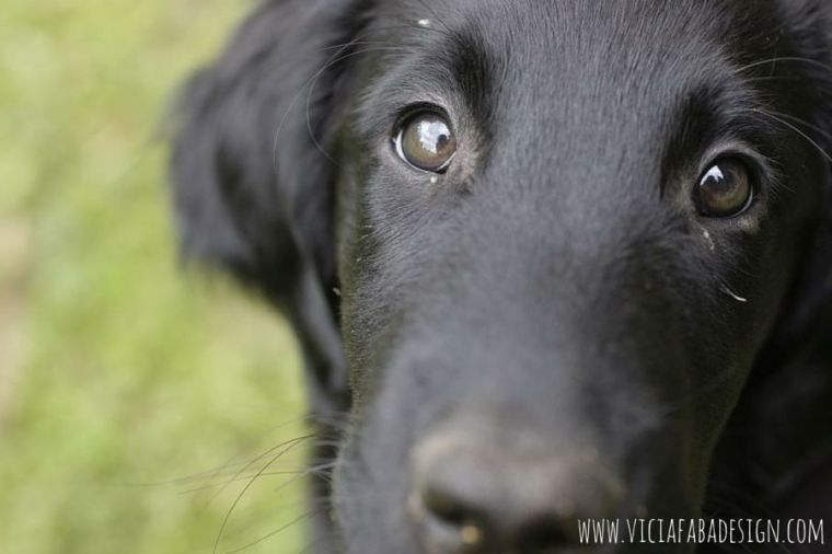 flatcoated retriever puppy